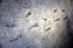 The trackway of hominid footprints at Laetoli in Tanzania is estimated to be 3.6 million years old. Credit: Image courtesy of University of Chicago