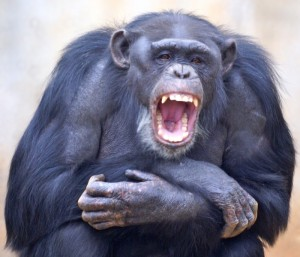 Katie yawning. Credit: Image courtesy of Yerkes National Primate Research Center