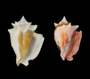 Prehistoric fighting conch Strombus puglis (L) and modern shells of the same species (R) show how the shellfish has decreased in size over time. Credit: Smithsonian Tropical Research Institute/Courtesy of Aaron O'Dea