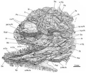 Cranial reconstruction of Gephyrostegus bohemicus. Credit: Image courtesy of University of Lincoln