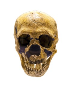 Skull of Homo neanderthalensis  Credit: © Creativemarc