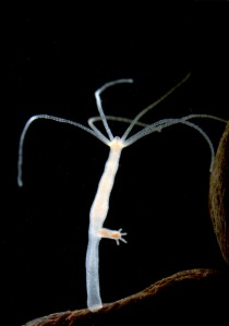 Experimental biology owes much to the discovery of the freshwater polyp Hydra over 300 years ago. Hydra was first described by Antoni van Leeuwenhoek in 1702. In 1744 Abraham Trembley published a remarkable series of experiments on Hydra, the first to demonstrate regeneration, tissue transplantation and asexual reproduction in an animal. The photograph by Melanie Mikosch and Thomas Holstein shows a budding Hydra magnipapillata polyp. Credit: Copyright Melanie Mikosch/Thomas Holstein, COS Heidelberg