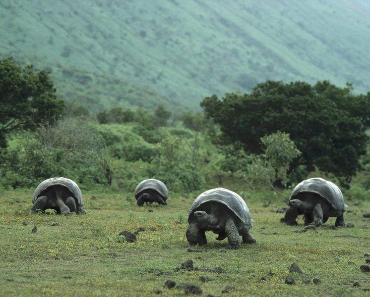 Giant Galapagos Tortoises in Isabela Island, Galapagos. NatGeo